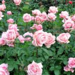 How to grow the best roses