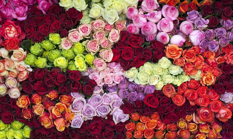 Choose the correct variety of rose